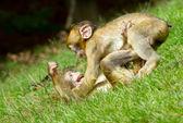 Dos monos jóvenes luchando — Foto de Stock