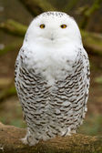 A snow owl — Stock Photo