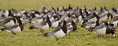 A group of barnacle geese — Stock Photo