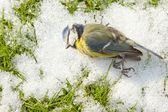 A deceased blue tit — Stock Photo