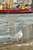 A herring gull with a fishing boat — Stock Photo