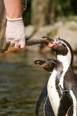 A pinguin is being fed — Stock Photo