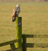 A buzzard is resting — Stock Photo