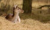 A fallow-deer — Stock Photo