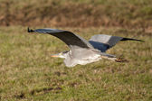Great blue heron flying — Stock Photo