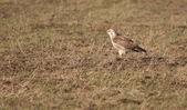 A buzzard in a field — Stock Photo