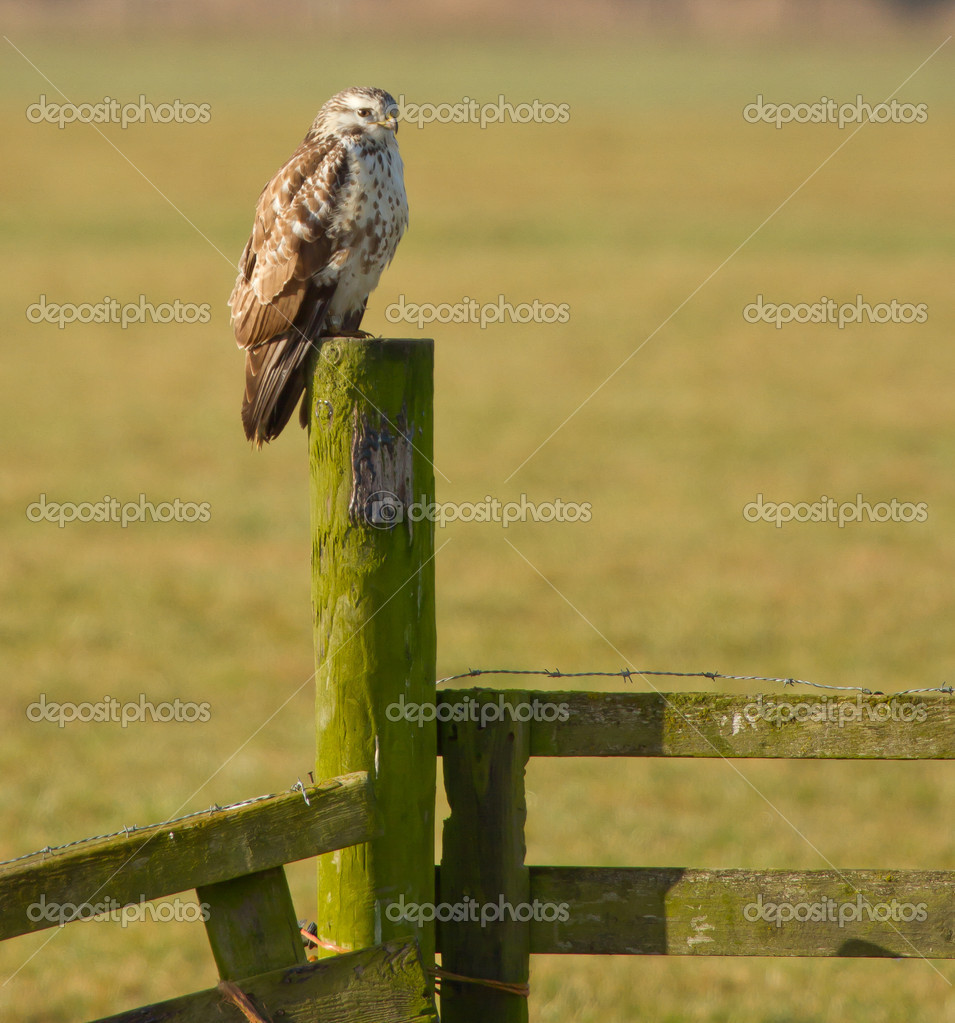 A buzzard is resting in the dutch landscape — Stock Photo #9415274