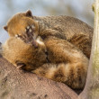 Two coatimundis are sleeping — Stock Photo