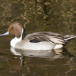 Northern pintail drake swimming — Stockfoto