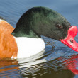 Common Shelduck swimming — Stock Photo
