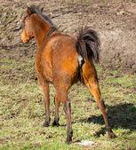 Horse peeing — Stockfoto