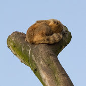 A coatimundi is sleeping — Stock Photo