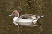 Northern pintail drake swimming — Stock Photo