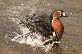Red-breasted Goose washing — Stock Photo