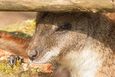 An eating parma wallaby — Stock Photo