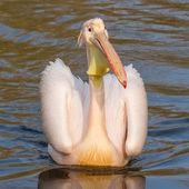 Um pelicano de natação — Foto Stock