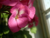 Rosa blume — Stockfoto