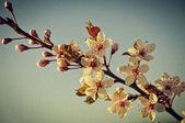 Cherry blossom retro design — Stock Photo
