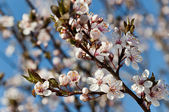 Cherry bloemen — Stockfoto