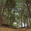 Royalty-Free Stock Photo: Mediterranean pine forest