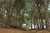 Mediterranean pine forest — Stock Photo