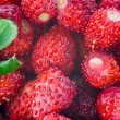 Wild strawberries close-up photo — Stock Photo