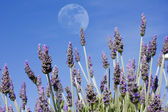 Lavender moon — Stock Photo
