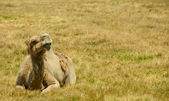 Camel on the grass — Stock Photo