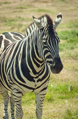 Zebra standing on grass — Stock Photo