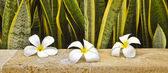 Frangipani's on Sandstone Wall — Stock Photo