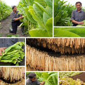Production of tobacco, split screen — Stock Photo
