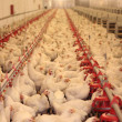 Stock Photo: Chicken Farm, Poultry