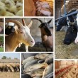 Farm Animal split screen — Stock Photo #9531881