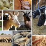 Farm Animal split screen — Stock Photo