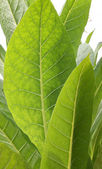 Tobacco leaf — Stock Photo