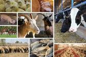 Djur på gården delad skärm — Stockfoto