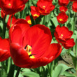 Beautiful spring flowers, tulips — Stock Photo #9545618