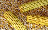 Corn Seed — Stock Photo