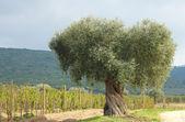 Olive tree and vineyard — Stock Photo