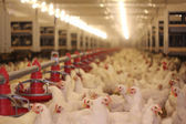 Chicken Farm, Poultry — Stock Photo