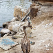Peruvian Pelican (Pelecano thagus) — Stock Photo
