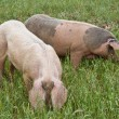 Pigs in the field - Stock Photo