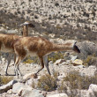 Guanaco (Lama guanicoe) — Stock Photo