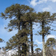 Stock Photo: araucaria forest