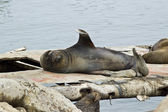 Sea Lion (Otaria flavescens) — Stock Photo