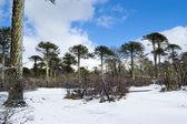 Bosque de araucarias — Foto de Stock