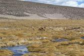Vicugnas (Lama glama) in Chilean altiplano — Stock Photo