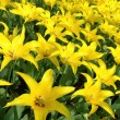 Flowerbed of yellow tulips — Stock Photo
