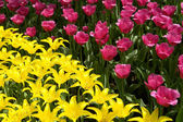 Flowerbed of pink and yellow tulips — Stock Photo