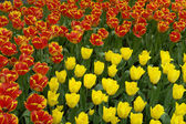 Flowerbed of red and yellow tulips — Stock Photo